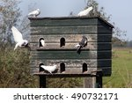 Dovecote And Pigeons In Love I...