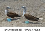 Two Blue Footed Boobies In The...