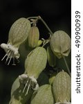 Small photo of Bladder Campion - Silene vulgaris White Wild Flower