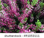Heather Flowers. Small Purple...