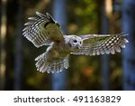 tawny owl  strix aluco in first ... | Shutterstock . vector #491163829