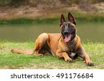 belgian malinois young puppy in ... | Shutterstock . vector #491176684