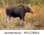 Small photo of A cow moose (Alces alces) strolling through a field in Algonquin Park