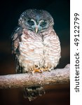 Small photo of African Wood Owl (lat. Strix woodfordii) sitting on a branch