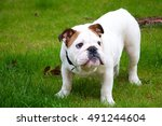 english bulldog puppy | Shutterstock . vector #491244604