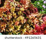 Small photo of Heuchera 'Marmalade' (coral bells, alumroot) in the garden