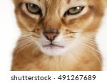 Small photo of closeup abyssinian kitten face