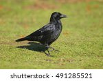 Carrion Crow Corvus Corone...