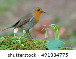 erithacus rubecula | Shutterstock . vector #491334775