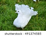 White Race Pigeons Dove In Grass