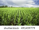 Cornfield And Blue Sky
