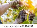 wine farmer picking grapes... | Shutterstock . vector #491520637