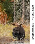 Small photo of Bull moose grazing in a pond in autumn in Algonquin Park