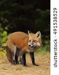 Small photo of Red fox (Vulpes vulpes) gazes left in autumn in Algonquin Park