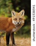 Small photo of Red fox (Vulpes vulpes) closeup in autumn in Algonquin Park