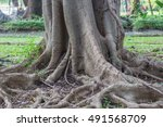 giant roots system from a large ... | Shutterstock . vector #491568709