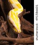 Small photo of Albino Burmese Python on dead wood