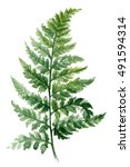 fern painted with watercolors... | Shutterstock . vector #491594314