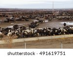 black and white cows crowded in ... | Shutterstock . vector #491619751