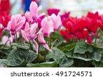 Pink Cyclamen Flowers In The...