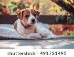 Jack Russel Terrier On Autumn...