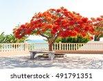 Flamboyant Delonix Regia Tree...