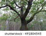 hundred years old oak in... | Shutterstock . vector #491804545