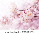 cherry blossoms in full bloom | Shutterstock . vector #49182295