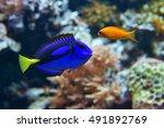 Blue Tang  Paracanthurus...