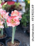 Small photo of Amaryllis or Hippeastrum Flowers