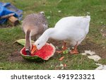 Geese On A Farm Eating Ripe...