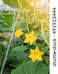 yellow female flower of... | Shutterstock . vector #491923444