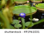 Lotus Flower  Nymphaea Caerule...