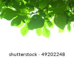 Green Fig Tree Leaves With...