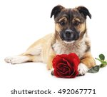 Puppy With A Rose Isolated On ...