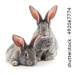 Stock photo two rabbits isolated on a white background 492067774