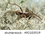 Small photo of Male wolf spider, Alopecosa inquilina on lichen