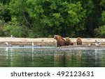 Brown Bear With Cubs On The...