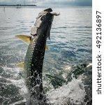 Tarpon Fish Jumping Out Of...