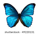 Stock photo morpho menelaus butterfly isolated on white 49220131