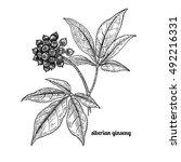 siberian ginseng. medical plant.... | Shutterstock .eps vector #492216331