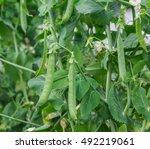 fresh green peas growing in... | Shutterstock . vector #492219061