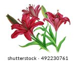 lilies flowers with buds... | Shutterstock . vector #492230761