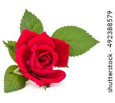 Stock photo red rose flower head isolated on white background cutout 492388579