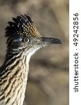 Greater Roadrunner  Close Up...