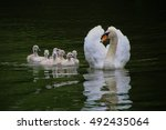 Swan Family    Mother With Her...