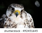 portrait of a common kestrel... | Shutterstock . vector #492451645