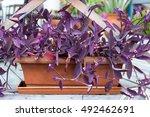 Purple Heart Plant In Flowerpot