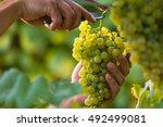 close up of worker's hands...   Shutterstock . vector #492499081