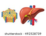 human liver anatomy. medical... | Shutterstock .eps vector #492528739